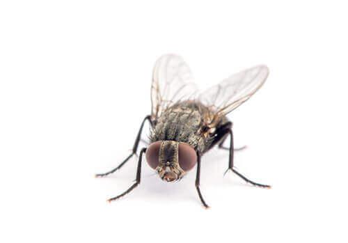 Stueflue   Randers volieren