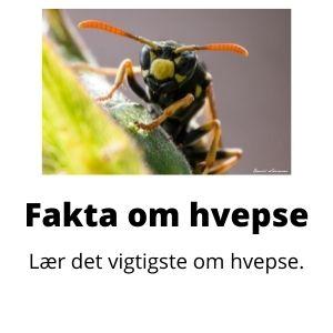 Fakta om hvepse