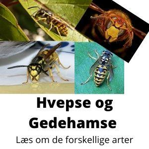 Hvepse Arter Randers Volieren