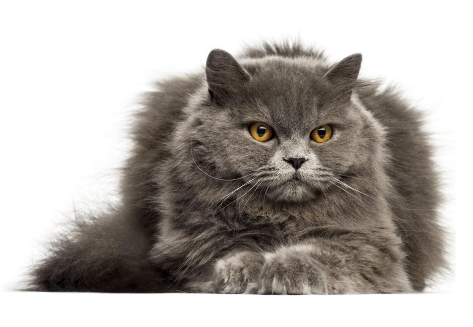 Kat | Randers volieren