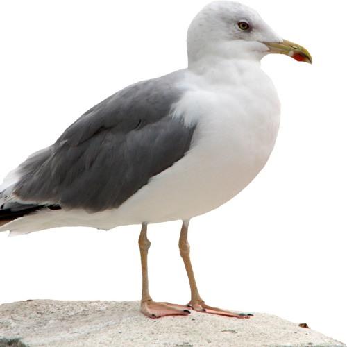 Måger | Randers volieren