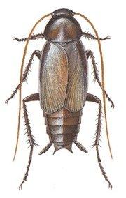 Orientalsk han kakerlak | Randers volieren