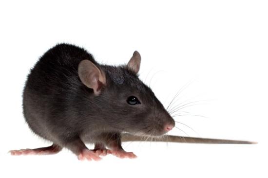Den sorte rotte | Randers volieren