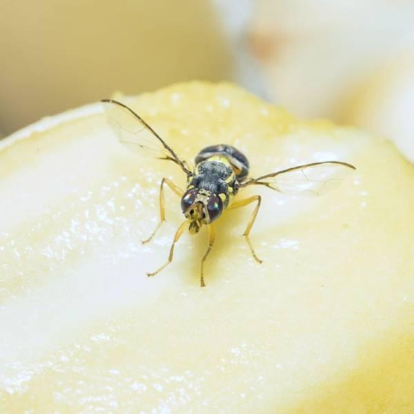 Bananflue | Randers volieren