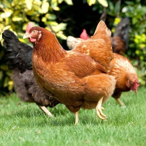 hønsehold | Randers volieren