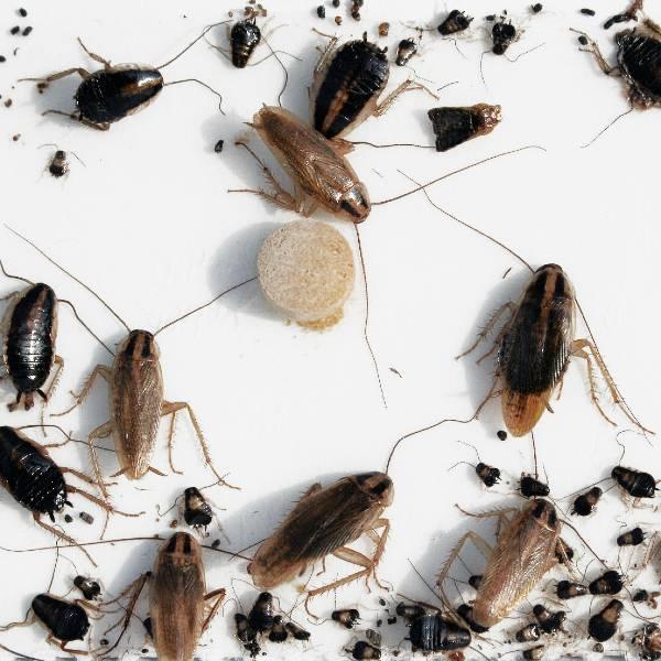 kakerlakker | Randers volieren