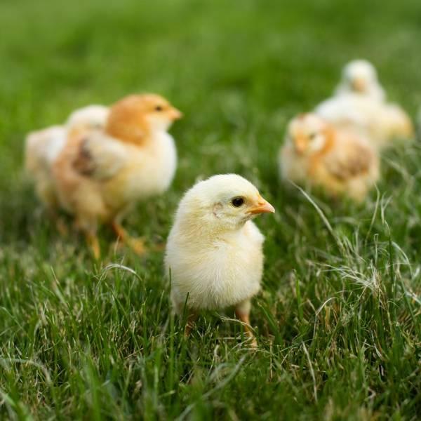 kyllinger | Randers volieren